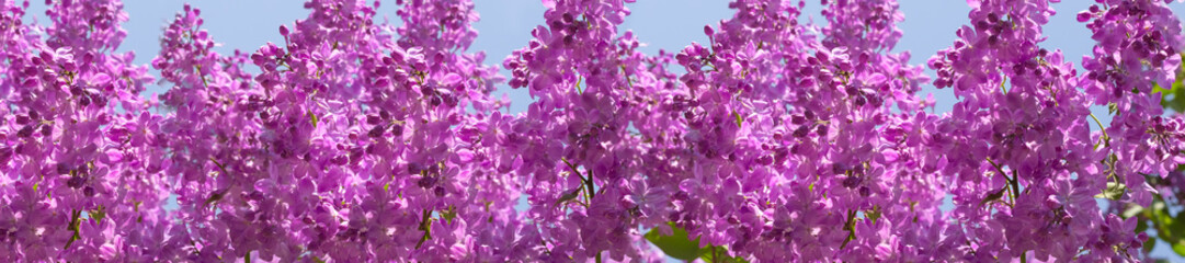 Wall Mural - header springtime bunches of lilac blossoms on branches