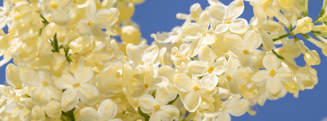 Wall Mural - springtime  of a blossoming yellow lilac.