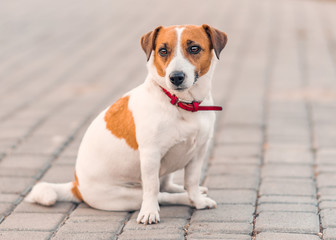 Portrait of cute small dog jack russel terrier sitting outside on gray paving slab at summer day. Front of adorable pet looking into camera