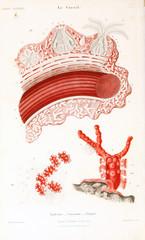 Illustrations of corals