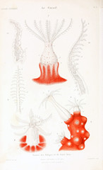 Illustrations of corals