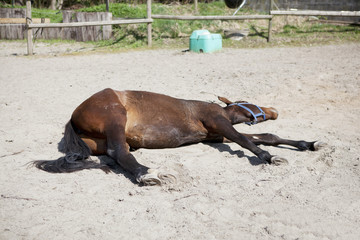 Horse is sleeping on paddock