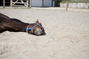 Horse is sleeping lying down