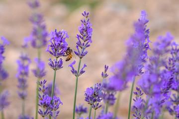 Garden Poster Lavender Fleurs de lavande macro, une abeille sur les fleurs.