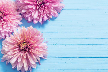 pink chrysanthemums on blue wooden background
