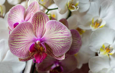 Keuken foto achterwand Orchidee Colorful orchids. Phalaenopsis beautiful flower closeup.