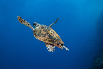 Hawksbill turtle (Eretmochelys imbricata) swimming away from the camera into the open water.
