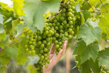Grape vine in a farm