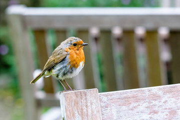 Robin on a bench