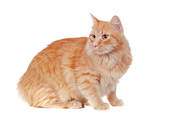 Beautiful big fluffy sitting red cat with long hair looking back