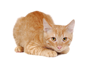 Closeup front view picture of a laying red cat