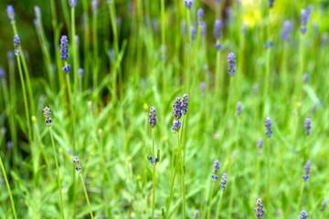 Lavender flowers blooming. Purple field flowers background. Tender lavender flowers.