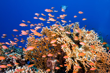 A school of Lyretail anthias (Pseudanthias squamipinnis) surrounding a large hard coral, small fish with bright orange body.