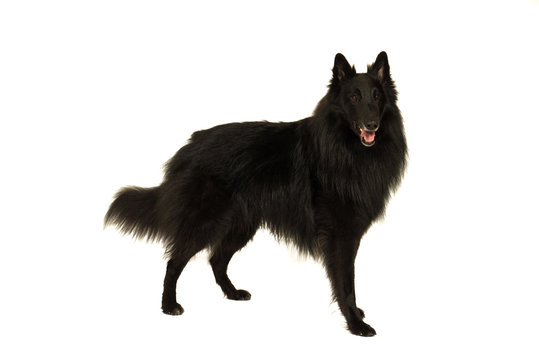 Portait of a black groenendaeler belgian shepherd dog isolated on white looking at the camera