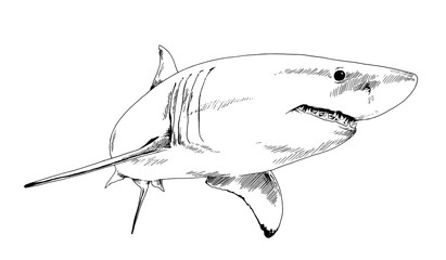 the attacking great white shark with open jaws drawn in ink by hand on a white background sketch