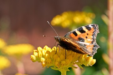 Butterfly Aglais urticae sits on a yellow flower.