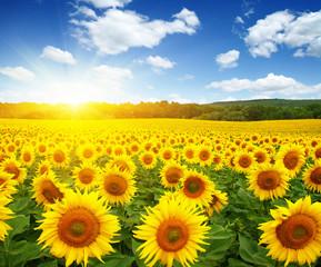 Wall Murals Yellow field of sunflowers