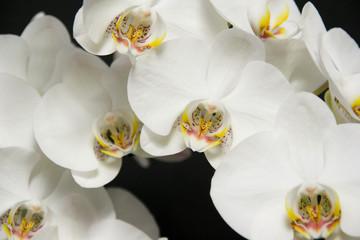 Fototapeta Storczyk - piękne białe kwiaty obraz