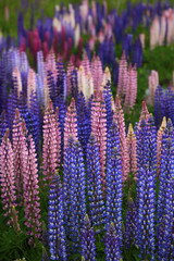 Pink and purple blooming lupines, New Zealand