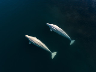 Two beluga whales swimming side by side