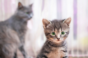 A little striped kitten with green eyes sits near her mother's  and looking forward_