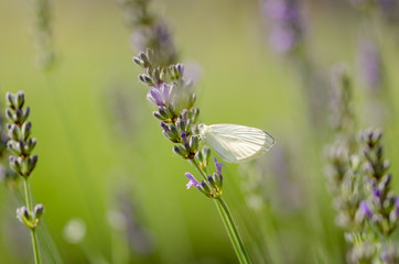 Pieris brassicae butterfly resting on the lavender.
