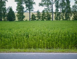 Plants: View over a small industrial hemp field at the edge of an asphalted country road in Eastern Thuringia