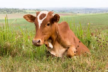 A tied dairy cow. Shot in Uganda in June 2017.
