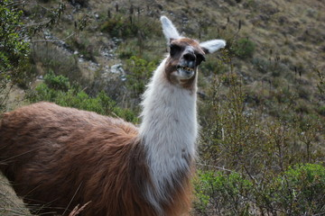 Llama on Inca Trail