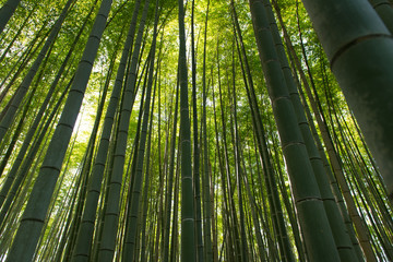 Bamboo grass stalk plants stems growing in dense forest as a peaceful green background