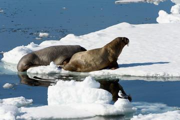 Beautiful strong Walrus in Arctic