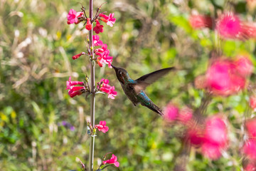 Anna's Hummingbird hovering mid flight, feeding on bright red flowers, with green plants in the background. In Arizona's Sonoran desert.