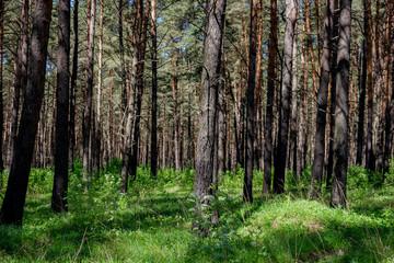 Fototapeta Beautiful thick pine with a weak underwood