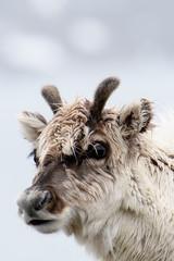 Svalbard reindeer in Spitzbergen