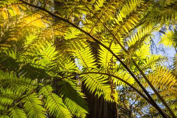 Backlit fern at Lawson Creek, Five Waterfalls Circuit, South Lawson, Blue Mountains, New South Wales, Australia.