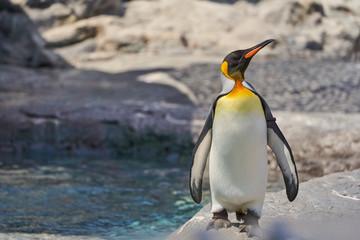 旭山動物園のキングペンギン