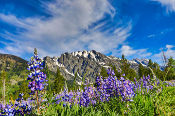 Lupine flowers in bloom at the base of the Grand Teton Mountains in Jackson Wyoming.