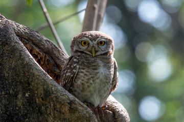 Spotted owlet is a small owl