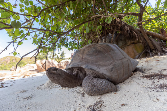 Aldabra tortoise on the beach