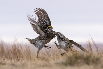 Intense fighting between two male Sharptail Grouse.