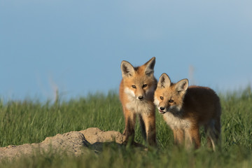 Beautiful fox pups standing outside of their den.