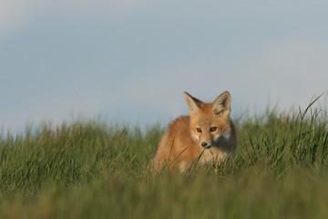 Little fox walking around its den.