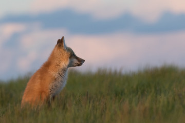 Young fox staring into the distance.