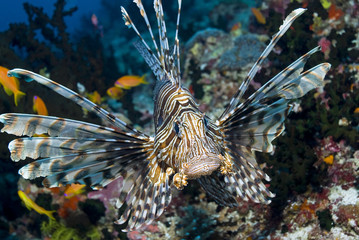 Approaching Red Lionfish (Common Lionfish) between corals
