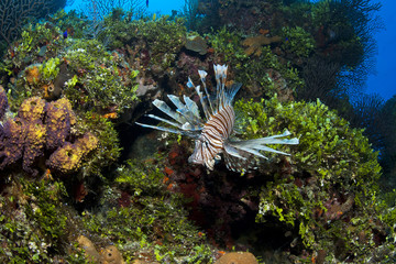 Red Lionfish (Common Lionfish) in colorful reef and corals