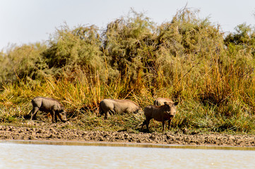 Wild boars in the Djoudj National Bird Sanctuary, Senegal. UNESCO World Heritage