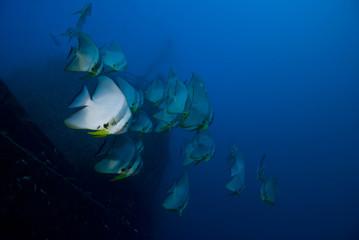 Longfin Batfish (Tall Fin Batfish) on a wreck