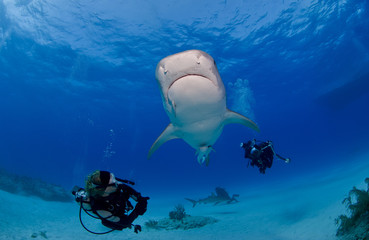 Tiger shark from below in clear blue water with scuba diver / photographer and the sun in the background