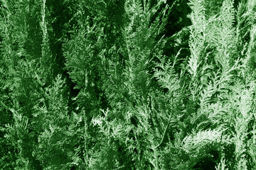 Thuja texture in green color.