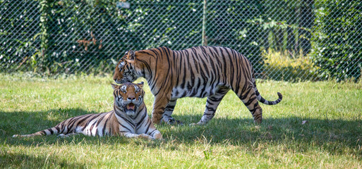 Couple of tigers, one sits on the grass, the other walking.